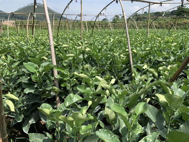 泰红宝石青柚种植技术