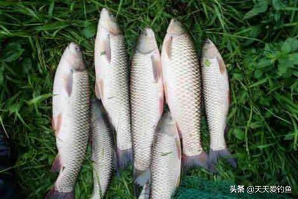 夏季浮钓草鱼,三种有效的草饵打窝方法,快速诱鱼,大草鱼连竿上