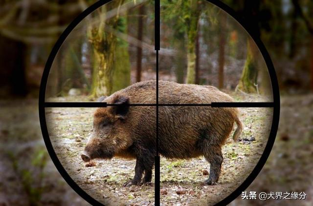 贵州纯种下司犬图片