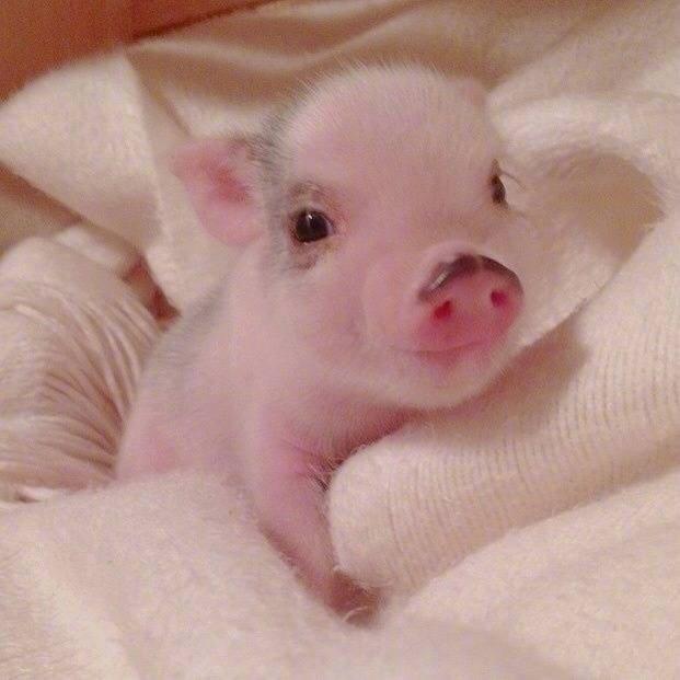 【猪猪头像】你是上天派给我的猪,全世界最可爱的猪魔方甜点壁纸