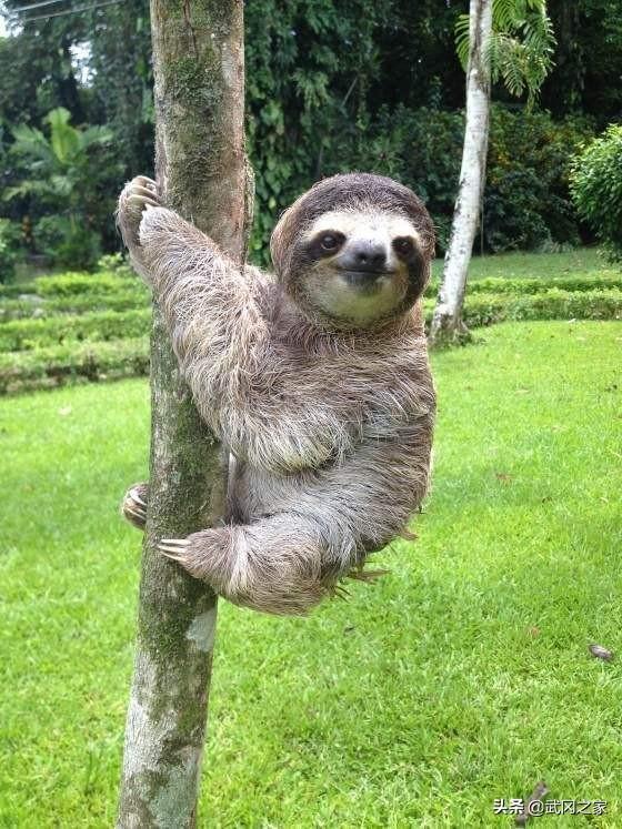 还记得《疯狂动物城》里的树懒吗?现实中的树懒更超萌可爱
