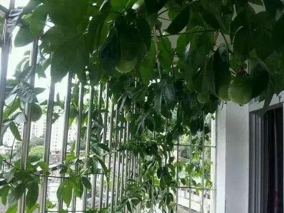 阳台上怎么种植百香果?看这1篇就够啦!