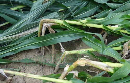 各地大风暴雨来袭,大风过后玉米倒了扶不扶?
