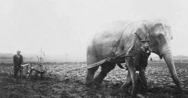 1915年的老照片:见过牛、骡子、驴耕地的,还没见过大象耕地的