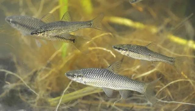 关于麦穗鱼,你需要了解的一些事实