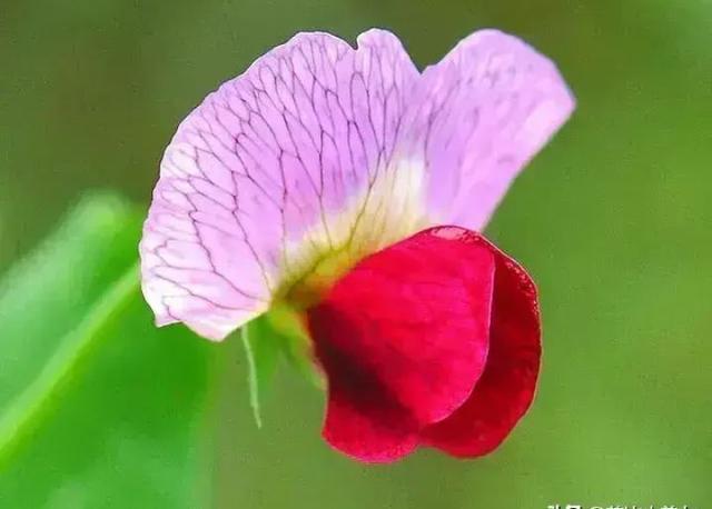 花朵头像小清新