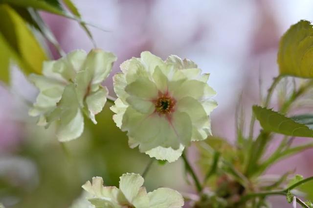单瓣郁金樱花