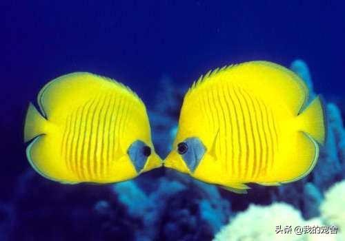 """奇鱼鉴赏之接吻鱼喷火鱼,会法式香吻,能在海底喷出蓝色""""火焰"""""""