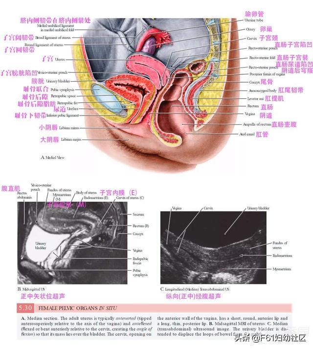 女性生殖系统解剖ppt