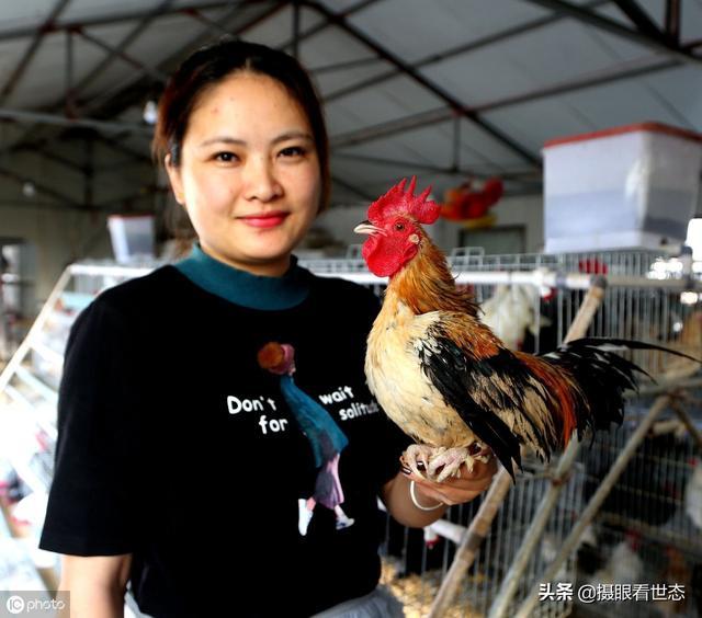 这些鸡和平常看到的鸡不同,这是中国观赏鸡,有的能卖到千元一只