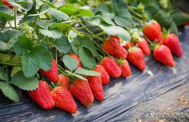 草莓手机壁纸