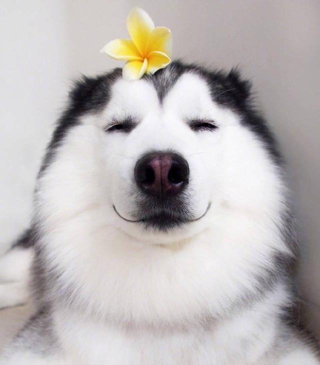 「狗狗头像」一见你就笑魔方甜点壁纸