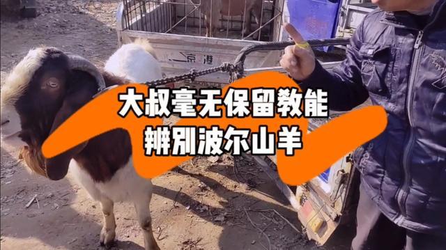 波尔山羊种公羊图片