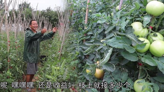农村小伙种6年西红柿,每天走量8000斤,一亩收益3万元!