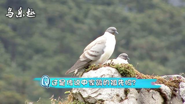"""野外山洞里的野鸽子,这是传说中的""""岩鸽""""吗?"""