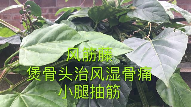 在茂名高州,有一种植物叫风筋藤,听黔粤妈说有什么用途