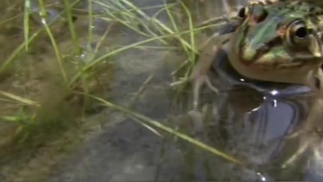 一只青蛙为了捕食,自己反成了猎物!