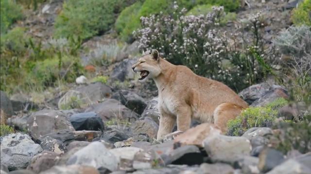山狮是什么狮