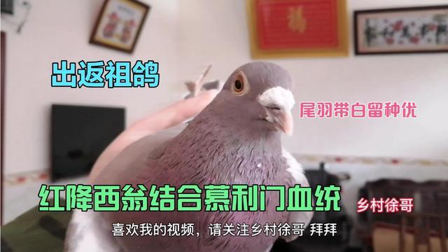 红绛纯种西翁信鸽图片