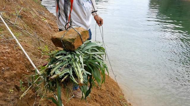 餐条用千岛湖当地钓友打草鱼的方法打草鱼窝,用草打窝用草钓