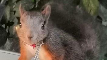 魔王松鼠的寿命平均有多长?魔王松鼠能活多久呢?_手机搜狐网