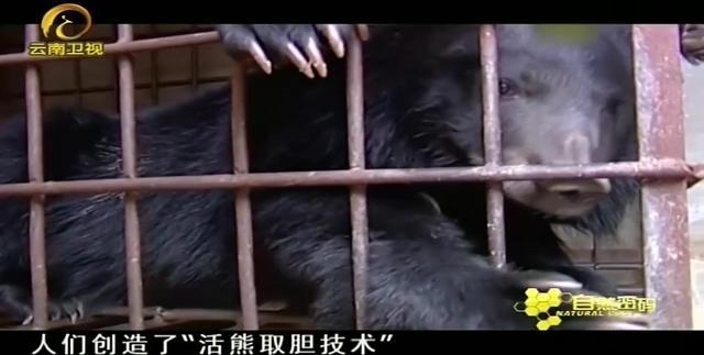 惨绝人寰的活熊取胆(附图)_胡樉_新浪博客