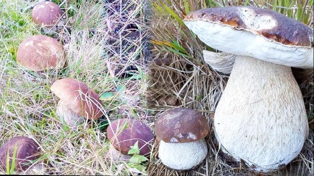 大腿蘑-淘宝拼多多热销大腿蘑货源拿货 - 阿里巴巴货源