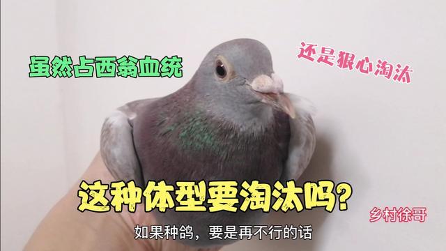 国血西翁信鸽图片