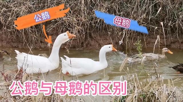 大白鹅简笔画