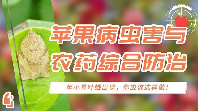 杨梅卷叶蛾虫害图片