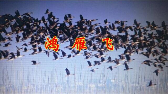 飞翔的大雁高清图片,飞翔的大雁高清图片素材大全