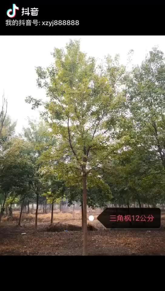 【安徽三角槭/三角枫价格 3公分5公分8公分10公分... _机电之家网