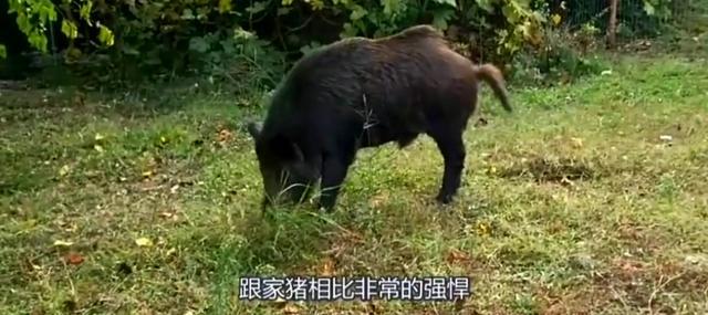 无助的野猪被两只恶狠狠的斗牛犬攻击,发出阵阵惨叫