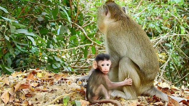 安娜妈妈根本没有心照顾猴宝宝,阿尔巴那无助的眼神心都碎了!