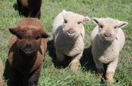 羊驼小时候也是各种萌萌哒,像布娃娃一样,谁知道长大后会成为表情包呢