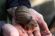 作为入侵物种,非洲大蜗牛其实并没那么可怕