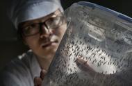 中国有个大学每天造出三百万只蚊子,放出一百万,只为让蚊子绝育
