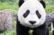 快来石家庄动物园陪大熊猫云子过中秋吧!