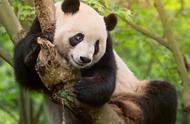 我们为什么要保护大熊猫?这件事远比一般人想象得复杂