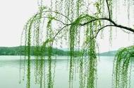 关于柳树的句子20字