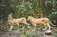 动物园狮子骨瘦如柴 回应:身型偏小属正常现象