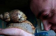 非洲巨型蜗牛入侵美国,它有多可怕?