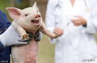 今年仔猪价格生猪行情市场分析