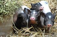 """马云养的猪上市啦!不仅如此,他还要""""颠覆""""整个农业……"""