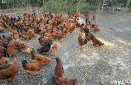 你不知道的林下养鸡注意点和技术性_华谊网赚网