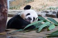 熊猫为什么能够成为国宝?原因没你想的那么简单