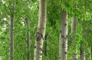 9月起严禁农民种树,特别是这2种,发现了可要罚款或刑拘