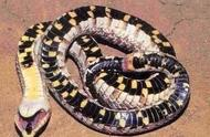史上最怂的毒蛇,一遇危险就吐舌装死,网友:尊严被狗吃了吧