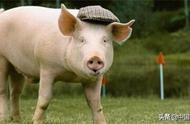 日本已有6个县的养猪场确认猪瘟疫情 大批猪被扑杀
