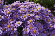 常年花开不停的紫苑花,买点种子撒院子就能活,养花盆里能开满盆
